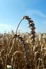 Pšenice ozimá